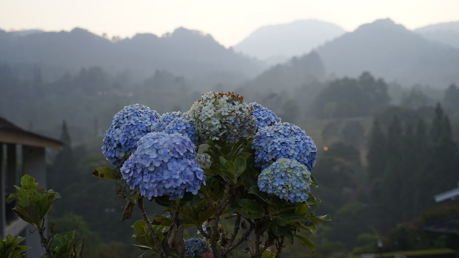 Close-up of purple hydrangea flowers on mountain
