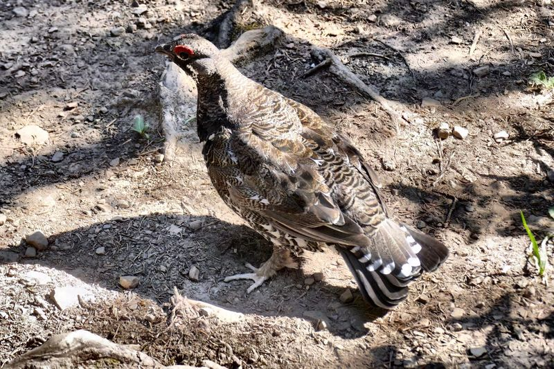 Spruce Grouse, or Franklin's Grouse. Bird Grouse Animals In The Wild Animal Themes Tasty Camouflage Feathered Red Eye Animal Wildlife No People Nature