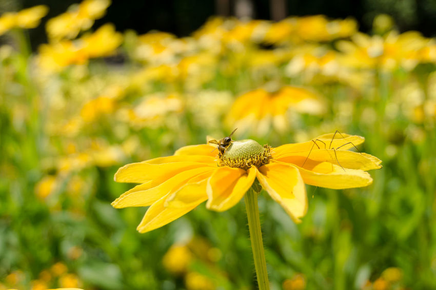 Golden Daisy Bush. Close-up of a Bee on a Yellow Flower. Asteraceae Beauty Bees Blooming Close-up Closeup Colors Euryops Chrysanthemoides Flower Head Flowering Flowers Garden Golden Daisy Bush Green Honey Bee Nature Petals Plants Summer Summertime Sunlight Yellow Yellow Flowers Growth Growing