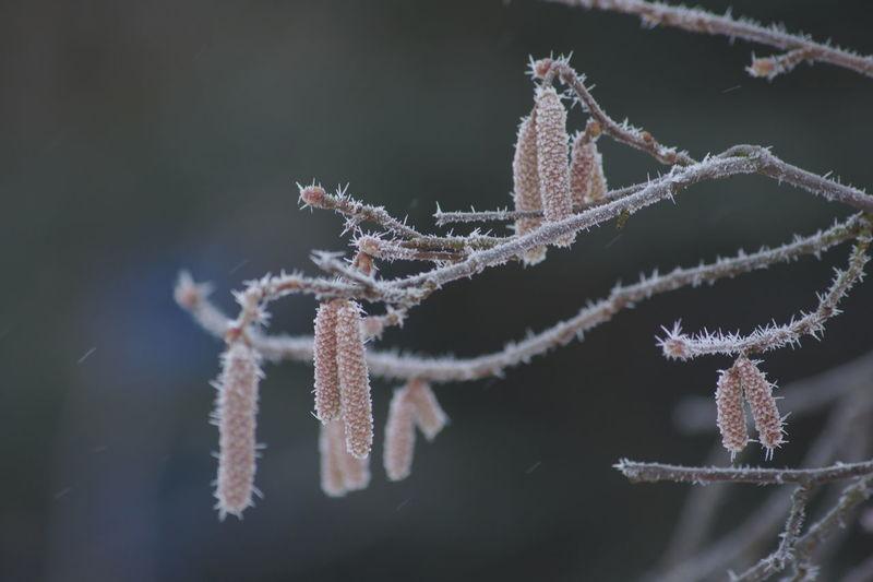 Close-up of frozen hazelnut tree
