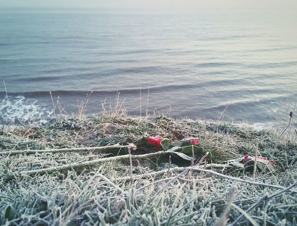 ... Frozen Red Roses somebody left on the Cliff ... Red Grass Water Frost Frosted Frosty Tranquility Outdoors Sea Waves Mundesley Norfolk Uk Winter розы зима Море иней мороз утро Morning Rosas