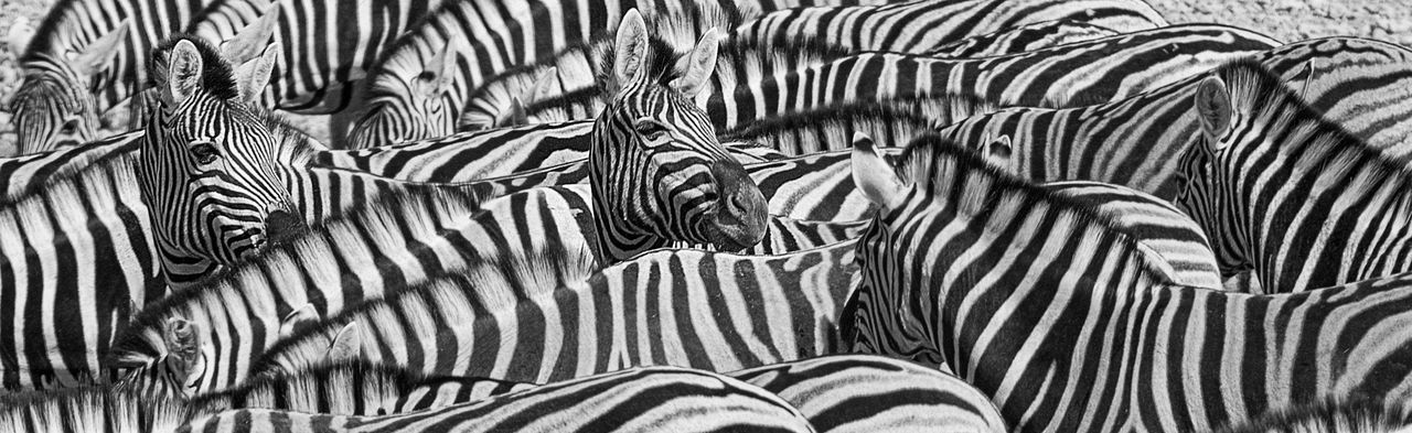 Africa Animal Themes Animal Wildlife Animals In The Wild Backgrounds Beauty In Nature Cautious Close-up Day Drinking Drinking Animals Heads Herd Mammal Nature No People Outdoors Pattern Prey Animal Safari Animals Striped Stripes Pattern Watchful Waterhole Zebra
