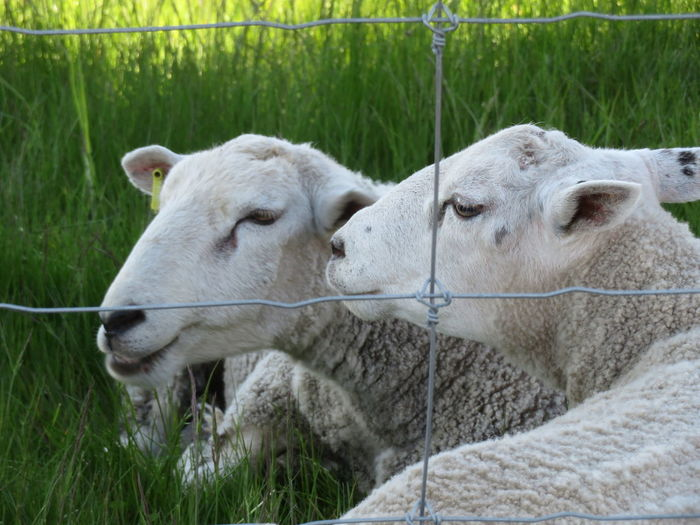 Sheep Field Close-up Grass Livestock Springtime Decadence My Best Photo