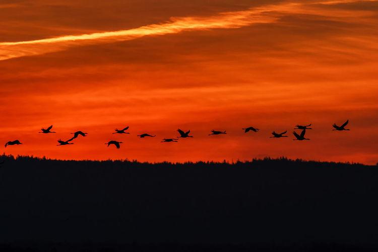 Silhouette birds flying in orange sky