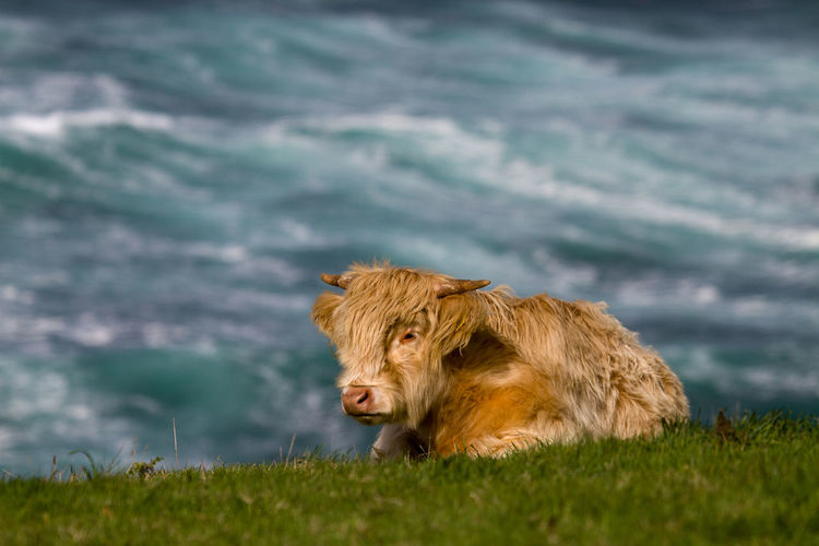 Highland cattle resting on grass against sea