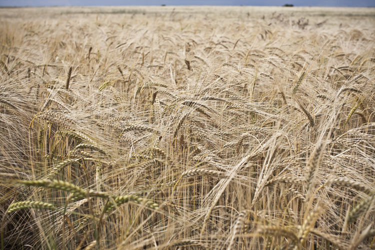 Close-Up Of Stalks In The Field