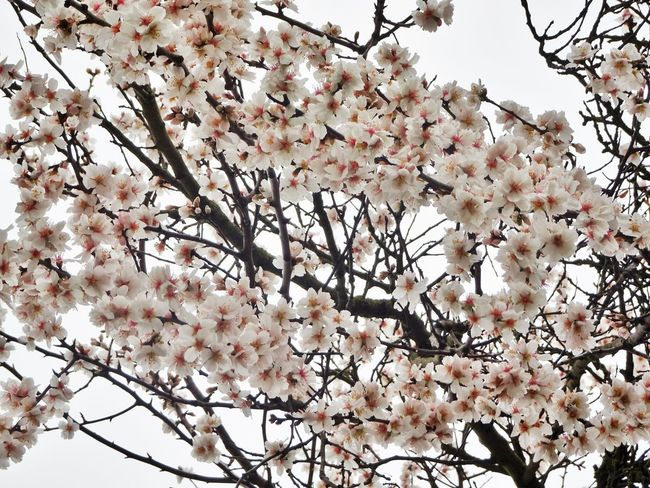 Beauty In Nature Blossom Botany Branch Bunch Of Flowers Cherry Blossom Cherry Tree Day Flower Flower Head Flowering Plant Fragility Freshness Growth Low Angle View Nature No People Outdoors Pink Color Plant Spring Springtime Tree Twig Vulnerability