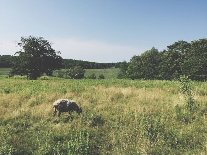 The Week On EyeEm Nature No People Animal Themes Grass Field Clear Sky One Animal Landscape Outdoors Sheep Grazing Farm Animals