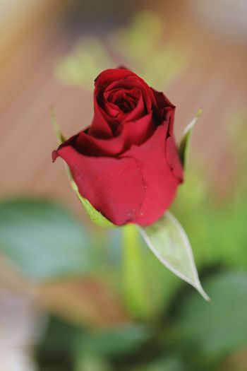 Red rose. Always a good choice. Flower Flowering Plant Rosé Plant Petal Beauty In Nature Rose - Flower Fragility Vulnerability  Flower Head Close-up Focus On Foreground Freshness Inflorescence No People Growth Nature Outdoors Sepal Red