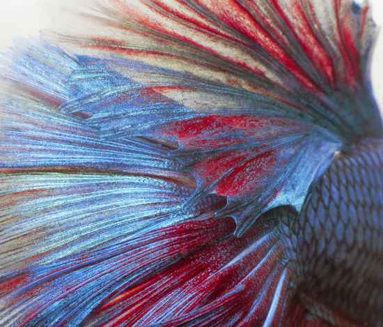 siamese fighting fish background Animal Animal Themes Animal Wildlife Animals In The Wild Backgrounds Beauty In Nature Close-up Extreme Close-up Flower Fragility Full Frame Macro Marine Natural Pattern Nature No People Outdoors Pattern Sea Softness Textured  UnderSea Vertebrate Vulnerability