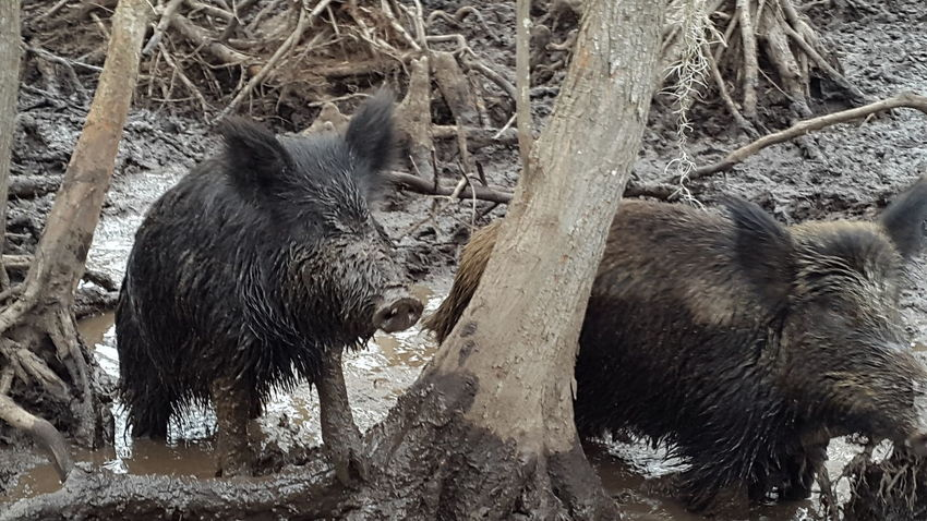 Animal Themes Animals In The Wild Bayou Bayou Lif Boars Swamp Swamp Life Wild Boar Wild Pigs In Swamp Wildlife