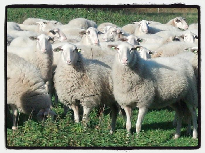 Sheeps Animals Nature_collection Naturelovers