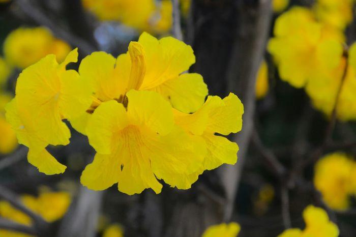 黃花風鈴木 Golden Trumpet-tree Flowers