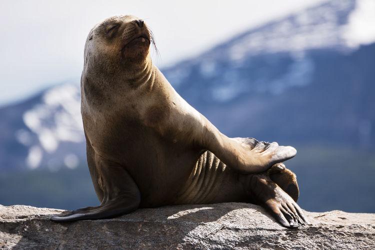 Sea lions on