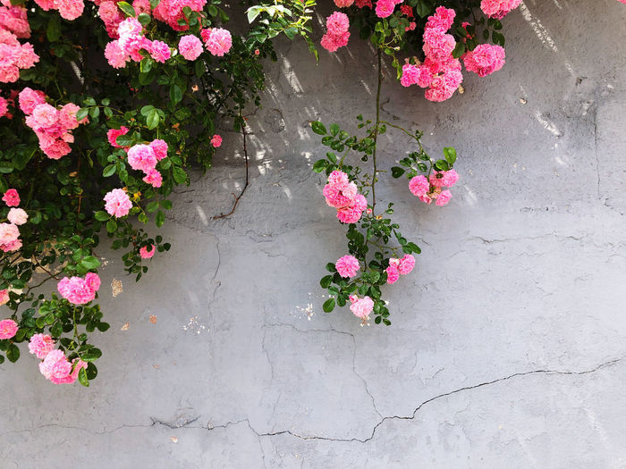 High angle view of pink flowering plants on footpath