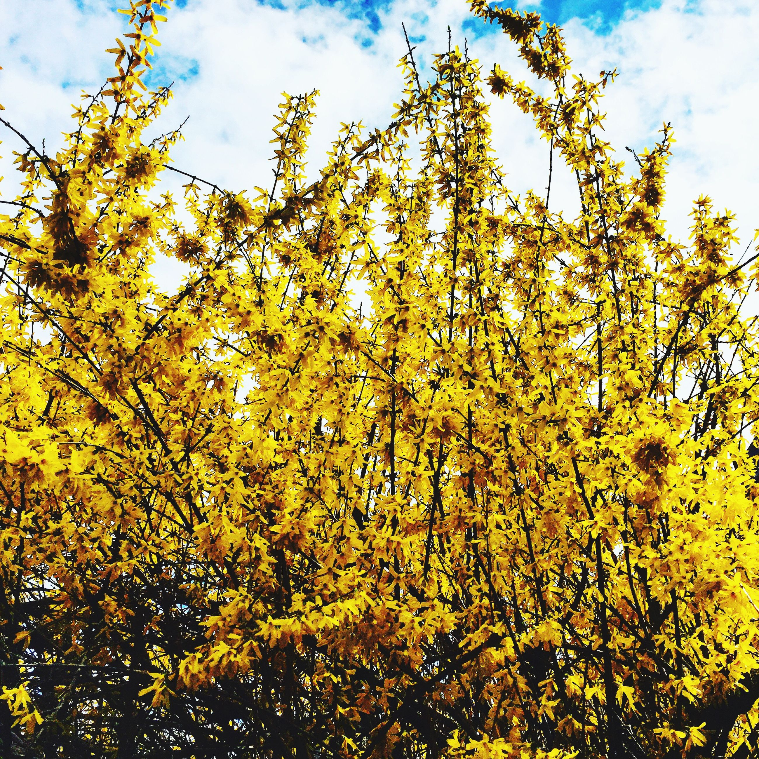 yellow, tree, flower, low angle view, sky, growth, beauty in nature, nature, branch, freshness, fragility, tranquility, cloud - sky, day, cloud, outdoors, sunlight, blossom, no people, in bloom