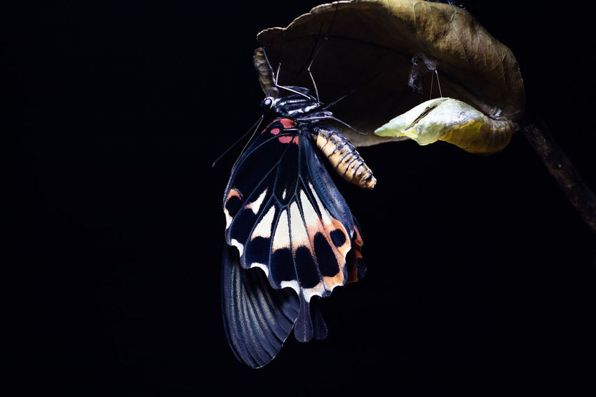 Animal Wildlife Animal Animal Themes Studio Shot One Animal Black Background Animals In The Wild Close-up Insect Butterfly - Insect Invertebrate Animal Wing Nature Cocoon Chrysalis Butterfly Beauty In Nature New Life Newborn Swallowtail Swallowtail Butterfly