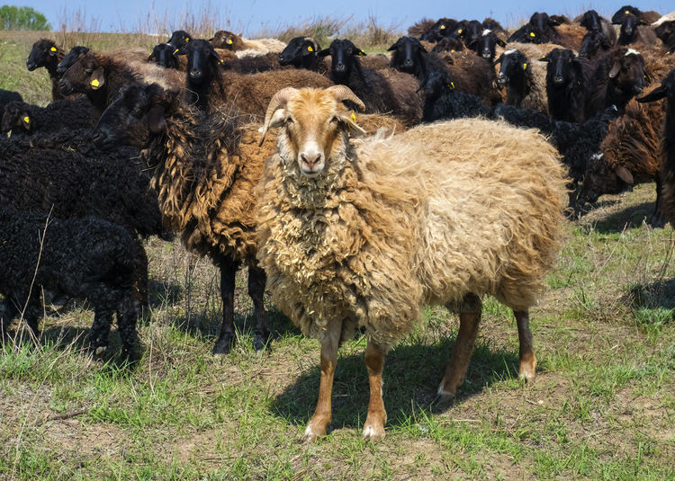 Sheep Mammal Livestock Animal Themes Animal Domestic Animals Group Of Animals Field Land Domestic Vertebrate Pets Standing Nature Grass Day No People Agriculture Plant Herbivorous Outdoors Herd