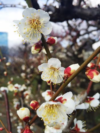 梅林 Flowers Flower 大阪城 Osaka,Japan OSAKA 大阪 梅 Ume Plum Plum Flower Plum Blossom Love