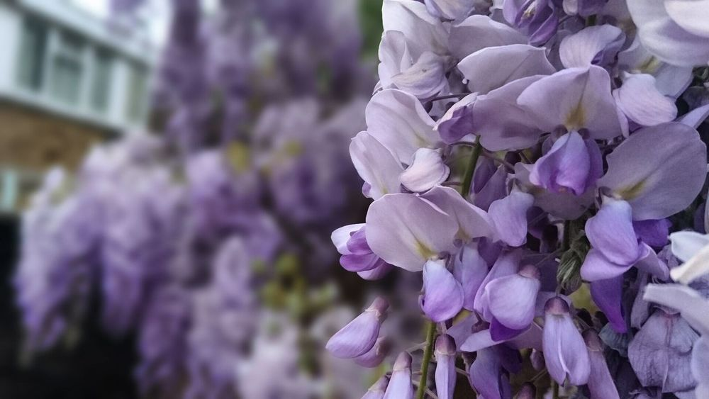 Flower Purple Fragility Beauty In Nature Blossom Lavender Colored Scented Nature Botany Freshness Springtime Close-up Growth Plant Petal Focus On Foreground No People Tree Outdoors Lilac London