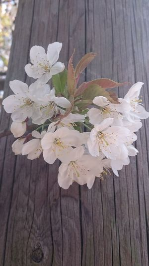 Cherry Blossom... Flower Nature Wood - Material Plant No People Beauty In Nature Flower Head Close-up Outdoors Day Freshness Fragility