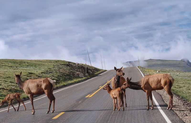 Landscape of an elk family on a road in rocky mountain national park