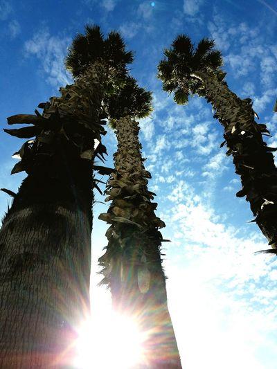 Tree Sky Cloud - Sky Beauty In Nature Outdoors Palm Trees Santa Cruz California