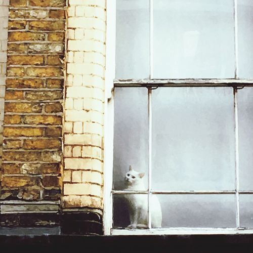 cat Cat Window Building Exterior Pets Brick Wall Window Frame White Cat