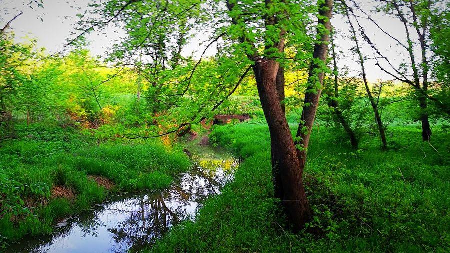 Creek Tree