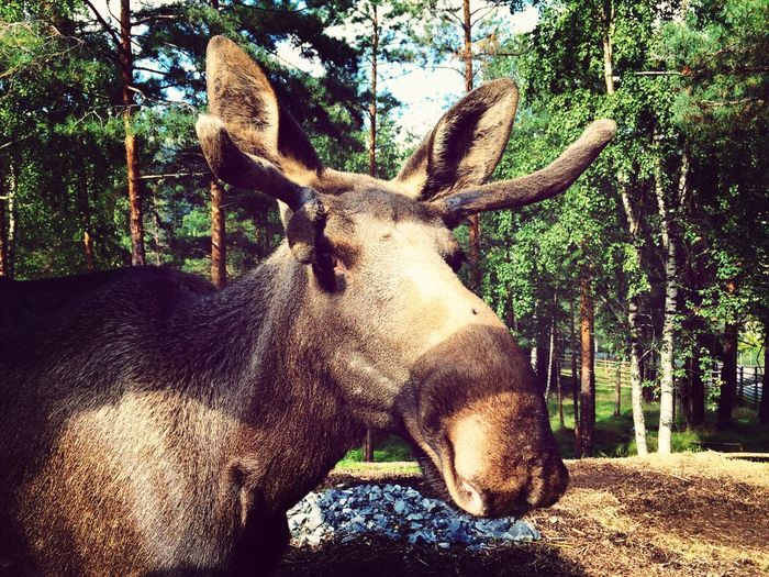 Moose EyeEm Animal Lover Visitnorway A Walk In The Woods
