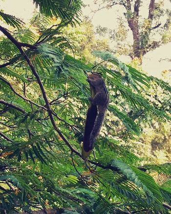 Squirrel's day out. :p Punediaries Squirrel Gulmohartree Viewfrommyroom