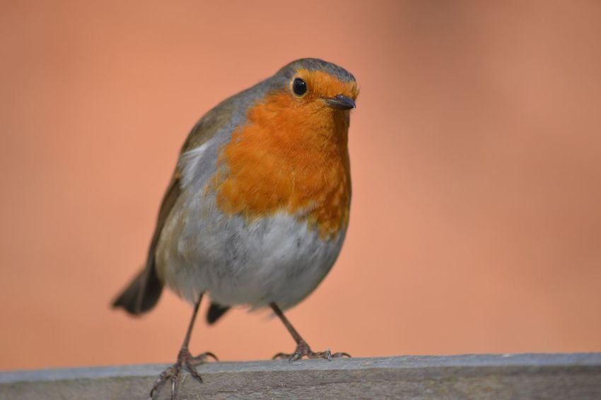 Robin Robin Redbreast Bird Close-up Nature