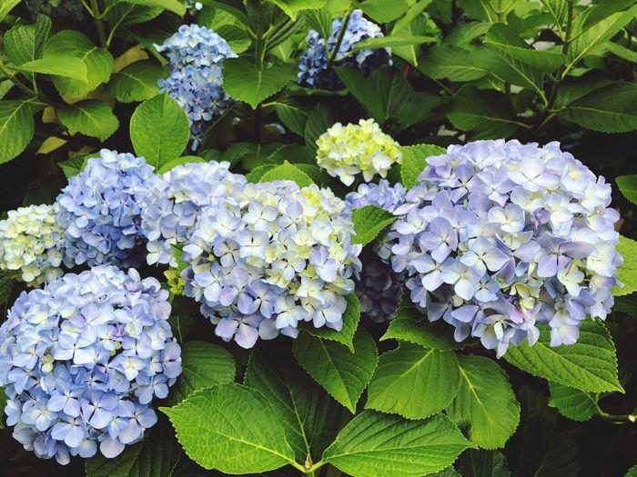 青い紫陽花 Tokyo