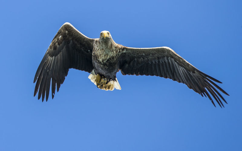 Low angle view of sea eagle flying against clear blue sky