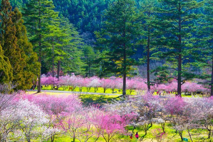 武陵梅花園