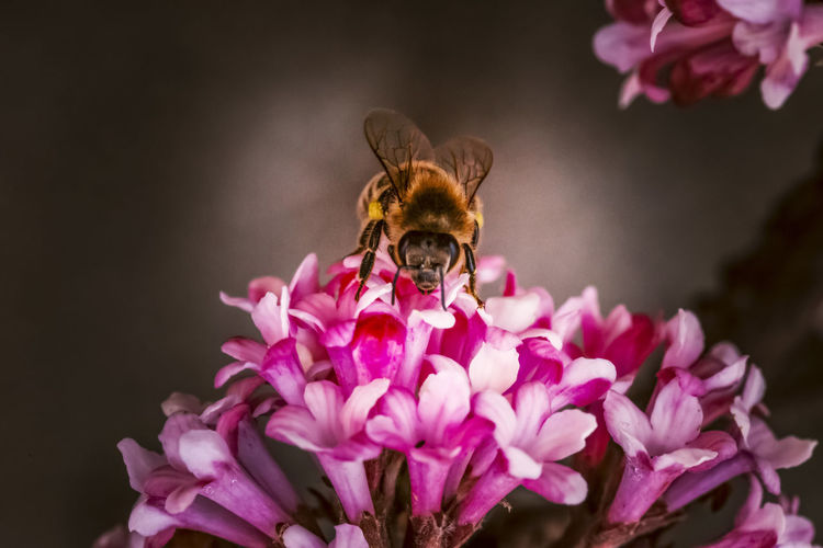 Close-up of bee pollinating on pink flowers