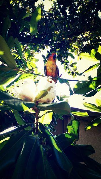 Sun Conure  MagnoliaTree TGIF ✌