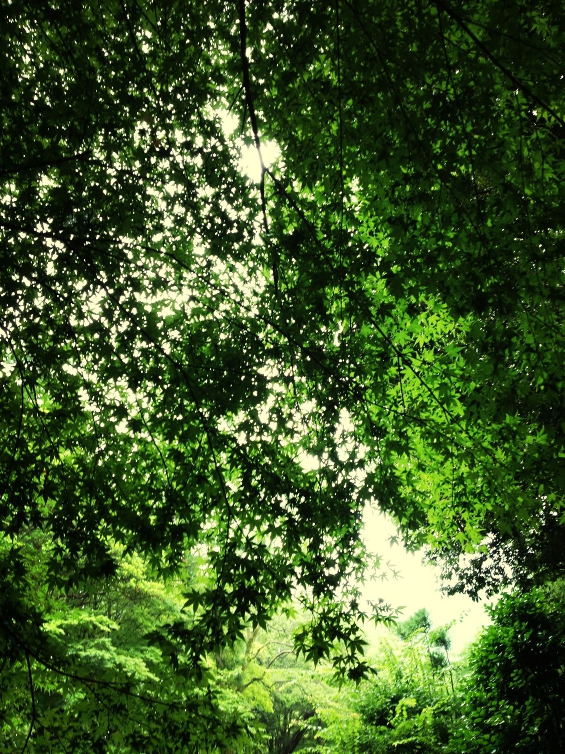tree, growth, green color, branch, tranquility, forest, nature, low angle view, beauty in nature, lush foliage, tranquil scene, scenics, leaf, day, outdoors, sunlight, green, no people, idyllic, backgrounds