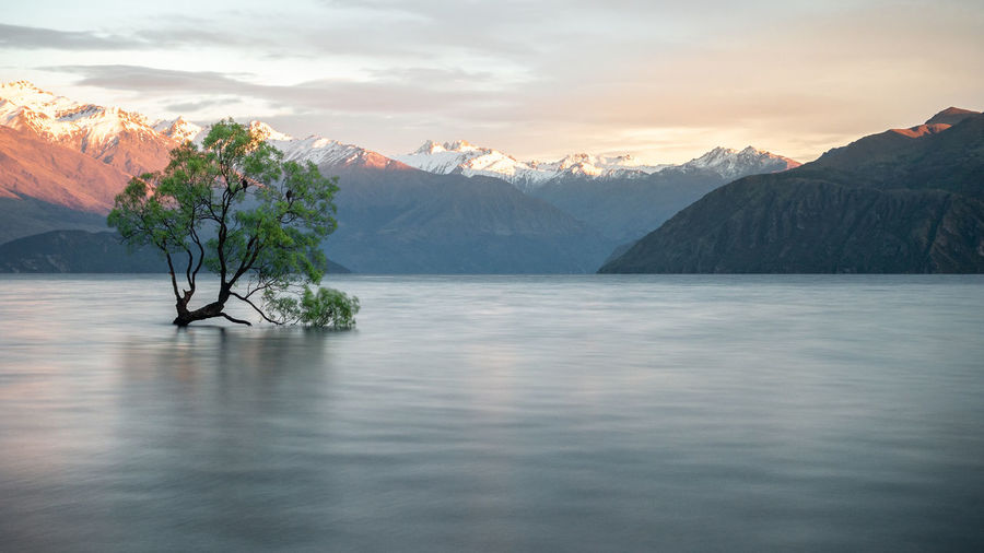 Willow tree growing in the middle of lake with mountains backdrop. wanaka tree new zealand, sunrise.