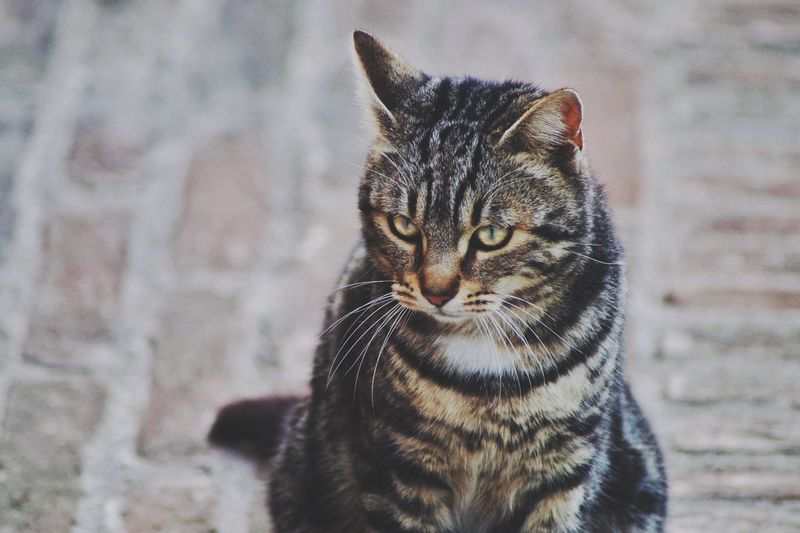 Close-up of tabby cat on footpath