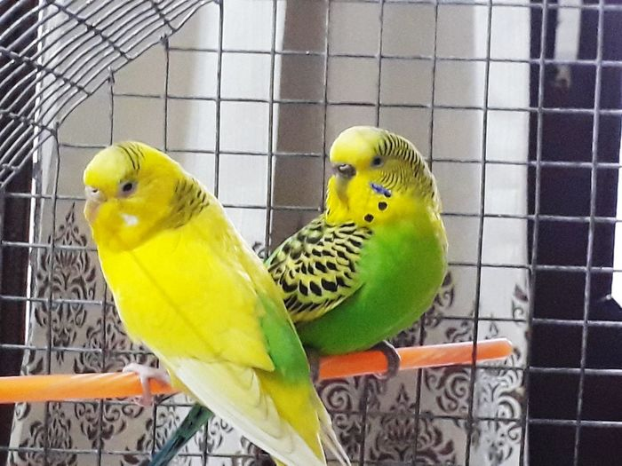 Best Buddies👨‍⚕️👩‍⚕️👫💥💫 Budgerigar Happiness😊 Check This Out Togetherness Parakeet Affectionate Styleicons Pets Of Eyeem Beautiful TranquilityEyeEm Masterclass Best Friends Looking At Camera EyeEmNewHere Relaxing Moments Pets EyeEm Team