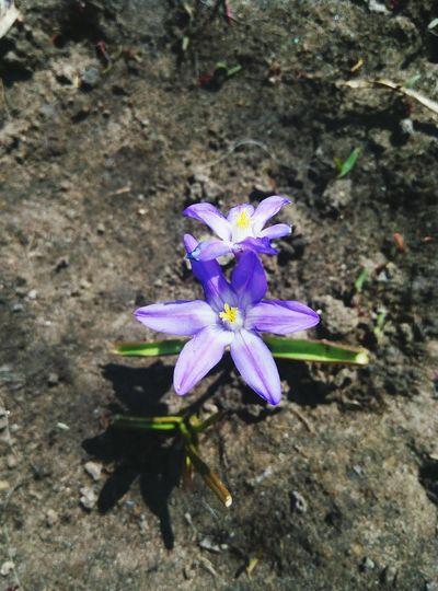 пришла весна Листочки цветочкиуменявсадочке веснапришла Flower Fragility Freshness Purple Petal Flower Head Beauty In Nature Nature Growth Plant High Angle View Blooming Outdoors Day No People Close-up Crocus