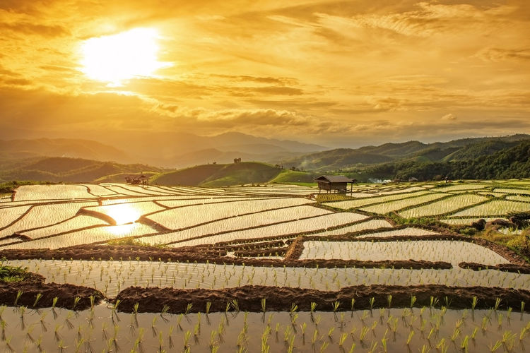 TERRACED RICE PADDY FIELD AT SUNSET