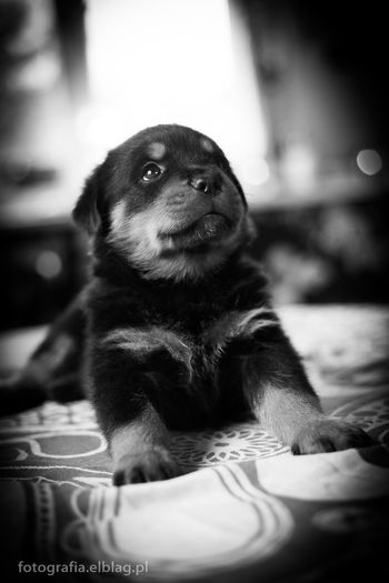 Puppy ,rottweiler, One Animal Pets Animal Themes Domestic Animals Looking Away Dog Selective Focus Close-up Indoors  Mammal Focus On Foreground Animal Head  Front View Curiosity Relaxation Snout Zoology No People Loyalty At Home