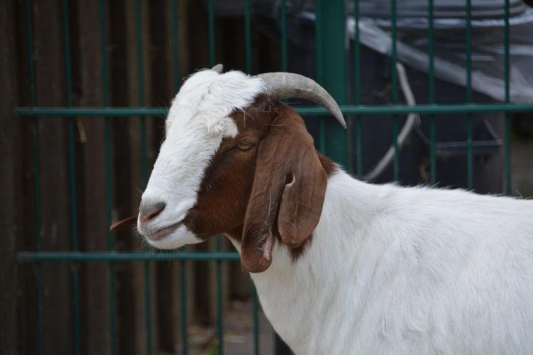 Close-up of goat at farm