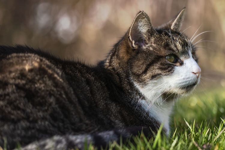 Cat in the spring sun, Germany Cat Domestic Cat Animal Themes Animal Pets Farm Animals Domestic Animals Feline Mammal One Animal Domestic Grass Selective Focus White Animal Fur No People Looking Away Looking Close-up Profile View Animal Head  Garden Relaxation Whisker Sunlight
