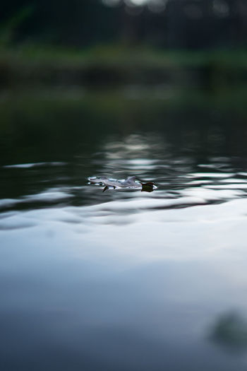 View of leaf swimming in lake