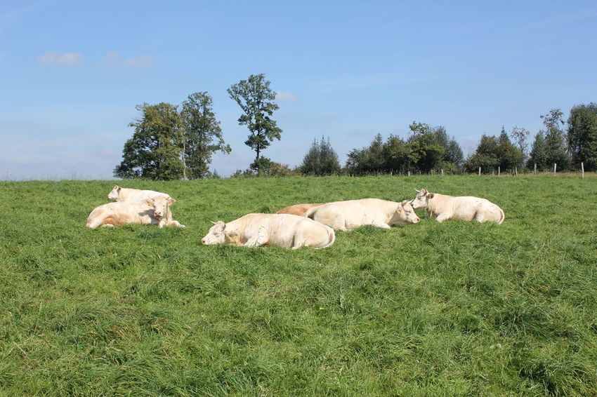 Fluffy white Cows - Charolais Cattle Agriculture Animal Themes Bergisches Land Charolais Charolais Cattle Cow Cremefarben Day Domestic Animals Field Grass Lifestock Livestock Lush Green Meadow Mammal Nature No People Outdoors Race Charolaise Sky Tree Weisse Kuh  Weiße Kühe Weiße Rinder White Cows