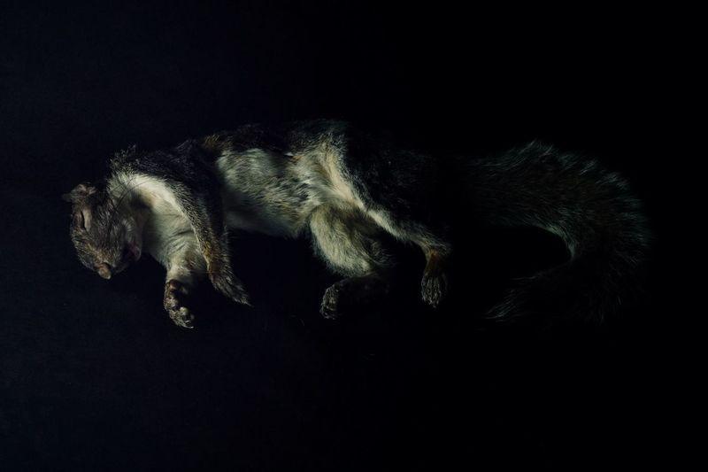 a life stilled......... Chiaroscuro  Animal Fur Mammal Squirrel Closeup Squirrel Texture One Animal Black Background Full Length Mortality Death Nature Shadow Dark Taxidermy