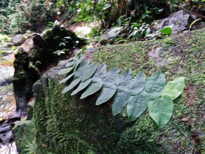 Rare natural formation of leaves sticked on a mossy rock in a wild river Beauty In Nature Close-up Creation Day Fibonaccisequence Forest Growth Jewellery Jungle Leaves Moss Mossyrock Nature No People Outdoors Rock Sacred Geometry Sequence Sumatra  Transformation Tree Tree Trunk Wilderness Wildlife & Nature Wildlife Photography First Eyeem Photo
